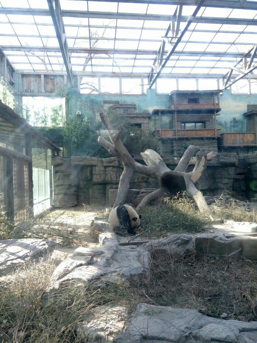 北京动物园真的很大,一天都逛不完,门票才15块,简直秒杀各种野生动物园。动物品种很多,而且每种动物的数量都不少,最关键的是动物很有活力,保存着野性。里面有很多濒危品种,在全国动物园都几乎难见,比如马来貘,倭蜂猴等,最喜欢看倭蜂猴,眼睛很大,很萌,动作非常缓慢,一步一步的爬在树干上,倒挂着伸懒腰,非常可爱。还有北极熊,第一次在非海底世界看到游泳的北极熊,一直在玩球,简直是排球高手,可以近距离看北极熊游泳玩耍还是很激动的,屁股圆滚滚的很可爱,熊掌黄黄的。大棕熊很懒,一直躺着不动,但是有游客喂食后就立马过来,还