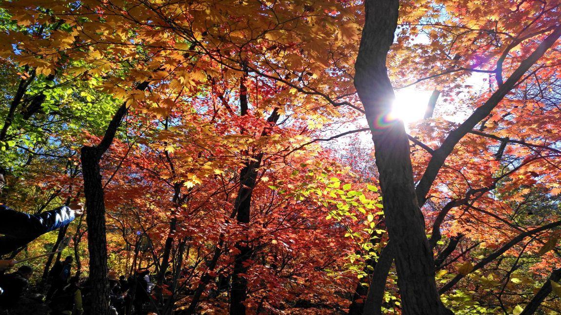 壁纸 枫叶 风景 红枫 树 1152_648
