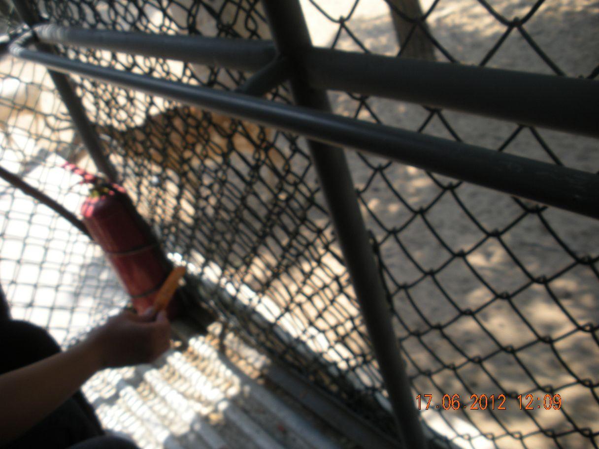 北京野生动物园位于大兴区万亩森林,距市区约40公里。园里饲养了两百多种动物,数量上万只,是带小朋友参观和学知识的乐园。园里很多动物都采用散养的方式,可以坐铁笼车近距离观察动物,还可以进行喂养,趣味十足。游玩路线北京野生动物园面积很大,纵深约有1.5公里,行进一圈儿约有4公里。景区的大门位于西侧,从西侧进门后有两条路线,分别为南线和北线,在南线和北线的深处都通向内部的散养区。一般的游玩路线为从南线步行进入,先游玩南线各区域。然后乘坐喂养车穿过散养区,再从北线步行游玩而出,游玩整个动物园大概需要半天时间。和狮