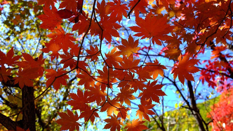 背景 壁纸 枫叶 红枫 绿色 绿叶 树 树叶 植物 桌面 1224_690