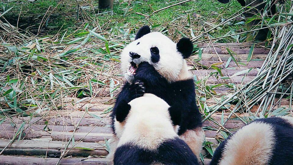 来成都如果不看大熊猫真的很可惜,所以,大熊猫基地是一定要来的!整个行程安排得很合适,很方便,我们是从宽窄巷子出发的,到景区自己买了观光车票,坐观光车直奔月亮产房看熊猫宝宝,简直被萌化了!这里的景色也不错,竹林很美,遮阴避暑,成年熊猫也是憨态可掬,又懒又笨,可爱极了!本次行程时间安排得很充裕,行程助理小谢人很热情大方,对待工作很认真负责,司机师傅也不错,辛苦啦!对本次行程很满意,中午一点半左右就赶回宽窄巷子了,不耽误下午的行程!没有任何购物强制,纯玩儿!棒棒哒!