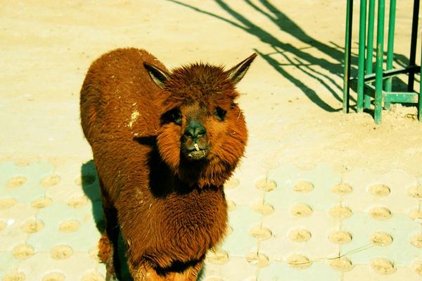 可以偶尔和朋友来这里玩,喜欢看北京动物园的羊驼,我和朋友发现他们