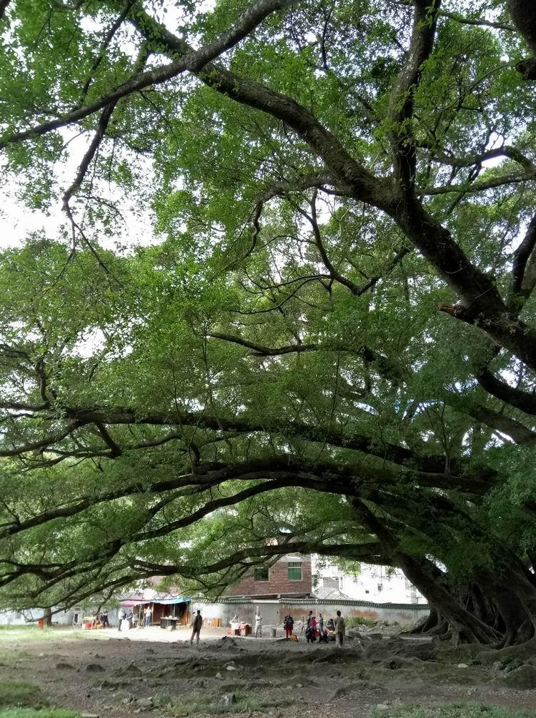 ()榕樹()()榕樹()_古榕樹下與榕樹下哪個好些_古榕樹