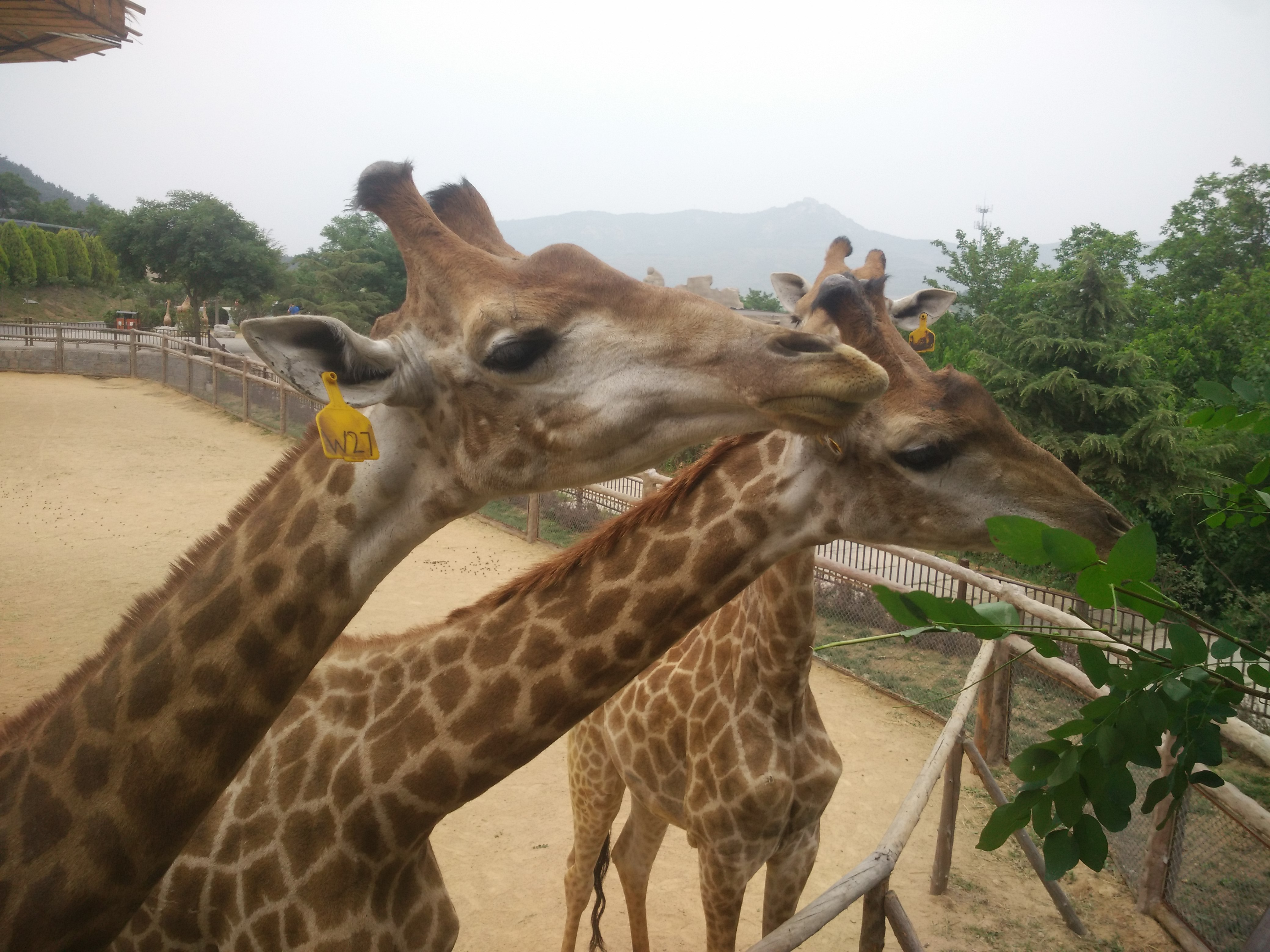 青岛最大的野生动物园,每年至少带孩子来两次。孩子很喜欢喂小动物,有爱心是件好事。 上次来是半年前冬天的时候,园里有点光秃,很多小动物都跑到室内取暖。所以味道比较大。还是夏天好,大多数动物都可以露天放养,方便人们观赏。 这次很努力的捕捉了一些动物可爱的瞬间,还带了些吃的喂小动物们,它们都抢着吃,想必是饿了。 每次来都看到有在建的项目,这次河马直接不见了。希望越建越好,壮大我大青岛!