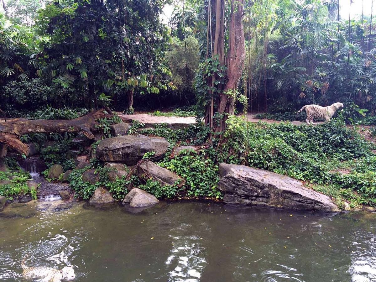 新加坡有日間動物園、河川動物園、夜間動物園,三家挨著,此外還有飛禽公園,由于時間有限,最終還是比較後選擇了日間動物園,動物種類更豐富、表演內容更豐富。從市區打車到動物園20塊新幣足夠,動物園門票可以提前在網上買,還包含了小火車票,會發一個條碼到郵箱,入園直接掃碼進不用再換票,很方便價格也比現場買合適。我們的路線是:進門步行看了長鼻猴、白虎園、北極熊那片區域,然後從一號站坐小火車到二號站,沿途可以看到長頸鹿、犀牛等動物,下車走到地圖最上方的兒童樂園,哪里有小矮馬可以讓孩子騎,也可以喂兔子喂小羊,還有旋轉木馬