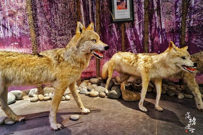 馆中的狐狸,马鹿,袍子,驼鹿等动物的标本.