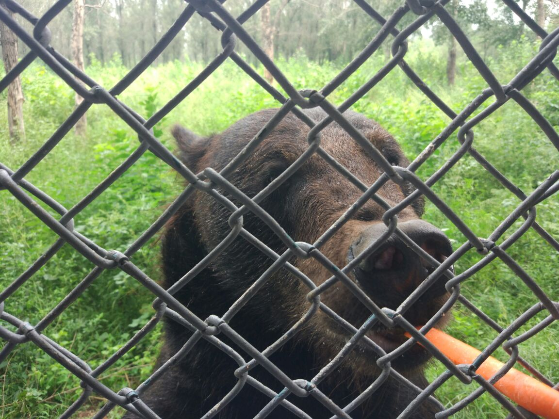 北京野生动物园面积很大,里面动物种类繁多,分为好多个区域,比较喜欢的可以选择购票自驾去动物散放区近距离观赏野生动物,尤其是凶猛动物园区,让人惊心动魄,但是记得遵守景区规定,保证安全。园区内还设有一处动物表演的小广场,在这里可以看到狗熊、猴子等小动物的表演,生动活泼,非常好玩,整个野生动物园逛下来一天蛮累的,但是很有趣。