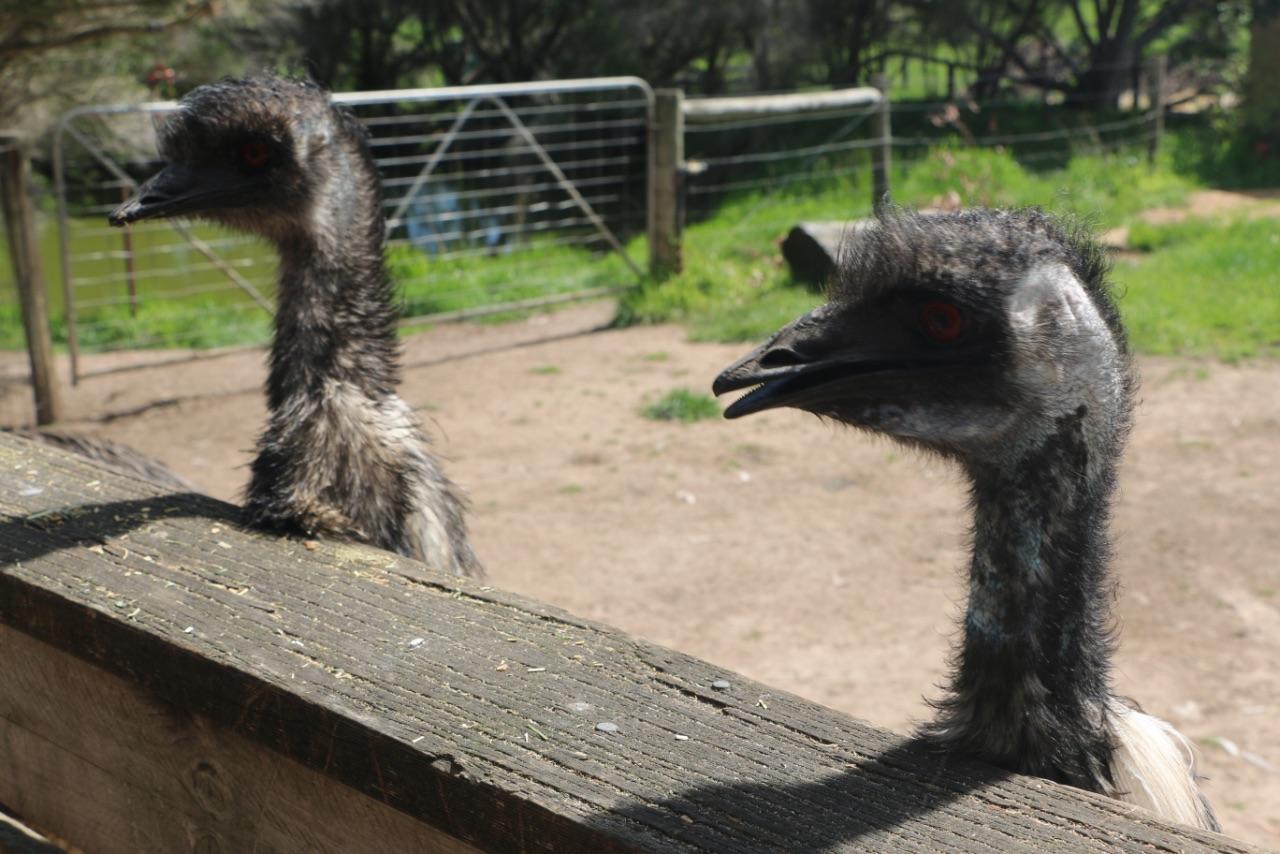 早 上去了个小型的动物园~可以喂袋鼠~之后去了个考拉保育