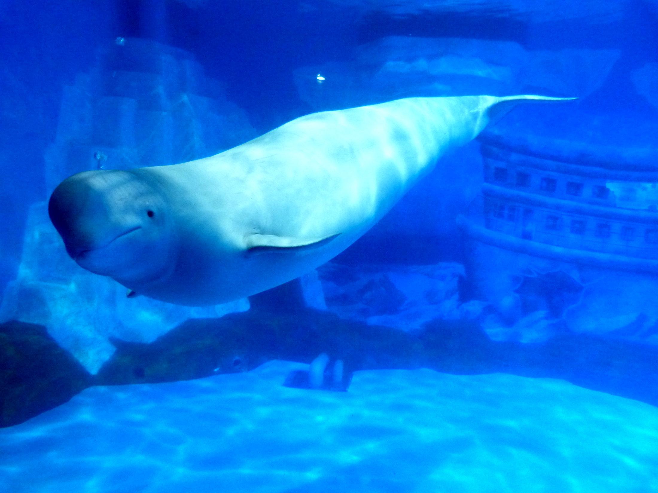 在极地馆,我们先到表演场看海豚表演,这个表演,同样是以讲故事的形式进行的。讲述了在一个叫做塔希提的海岛上,当地居民和海豚的故事。表演的时候,一边是海豚在欢快雀跃的坐着跳远表演,另外一边,外籍演员在一边,从很高的地方做出各种滑稽的跳水跳台动作。有只大白鲸也时不时得在水池中游来游去。看完表演,我们继续在极地馆的一楼和二楼参观。这里有很大很长的玻璃水族箱,可以看到多种多样的海洋和极地生物。大白鲸特别喜欢游客,它们在水族箱里游来游去,但只要看见有游客,特别是小孩子贴