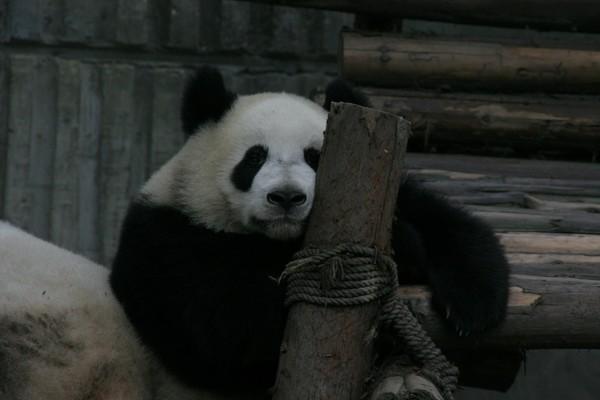 〖成都大熊猫繁育研究基地〗来成都不得不看看可爱的国宝熊猫,个个都萌呆呆的特可爱,熊猫基地位于成都市外北熊猫大道26号,里头建有各种齐全的大熊猫繁育所必须的设施,而成都的熊猫基地说大也不大,说小也不小,整个都走完,大约也要游玩两三个小时。节假日还有特别的熊猫表演,开放时间为早上 8:00 - 下午 18:00 ,一般来说看大熊猫最好是早上,下午的时候熊猫比较懒散,有些都在睡觉。一般旅行社都有熊猫团,包车来回,玩一个上午,费用100/人(包括门票),