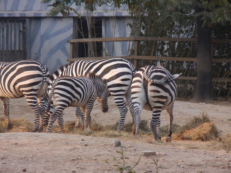 北京动物园(Beijing Zoo),位于北京市西城区西直门外大街,东邻北京展览馆和莫斯科餐厅,占地面积约86公顷,水面8.6公顷。原名农事实验场、天然博物院、万牲园、西郊公园,是中国开放最早、动物种类最多的动物园,从清光绪三十二年(1906年)至今已有逾百年的历史。饲养展览动物450余种4500多只;海洋鱼类及海洋生物500余种10000多尾。每年接待中外游客600多万人次,是中国最大的动物园之一,也是一所世界知名的动物园。明代为皇家庄园,清初改为皇亲、勋臣傅恒三子福康安贝子的私人园邸,俗称三