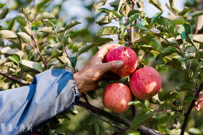 初遇栖霞,在秋天的苹果树下