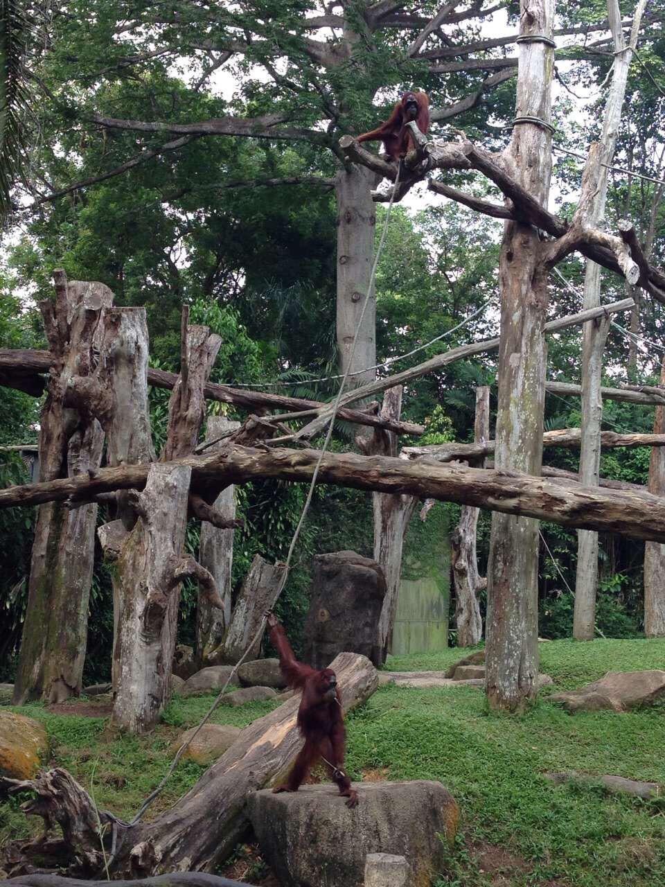 新加坡动物园+river Safari!动物园正规正矩,但是,景色太美了!!!园内免费的摆渡车比较方便,肯德基等餐厅也是物美价廉,没有高价情况出现,标价和市内的店一样 。 还有和人亲近的猴子,精彩演出,时不时来的一场暴雨。整个氛围十分欢乐!      雨后去了river Safari坐着船看着海上小岛的长颈鹿和大象,原来还有这种观光方法,比野生动物园安全,比普通动物园精彩!没能去夜间飞禽那里玩儿比较遗憾。总