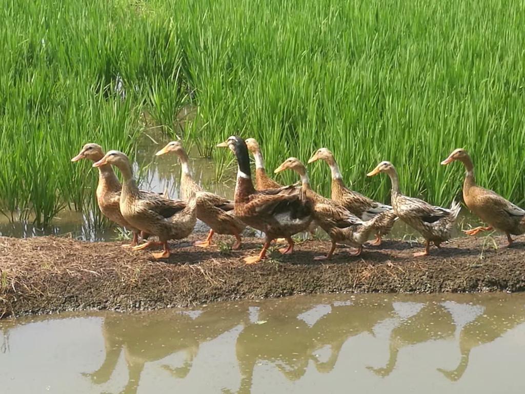 一是稻田鸭子后,可以直接用鸭子的粪便来当做肥料, 二是鸭子是杂食图片