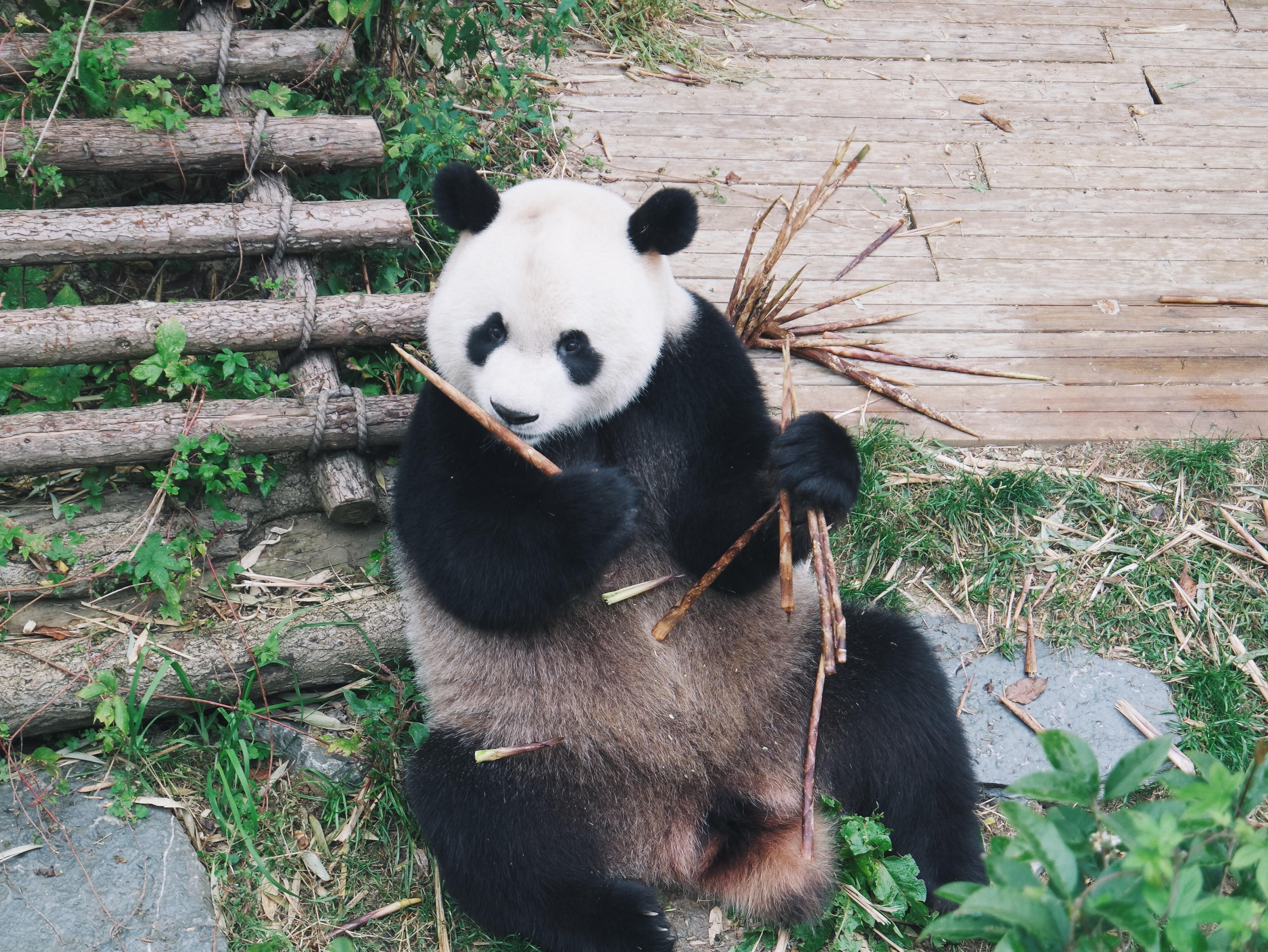 壁纸 大熊猫 动物 4859_3648