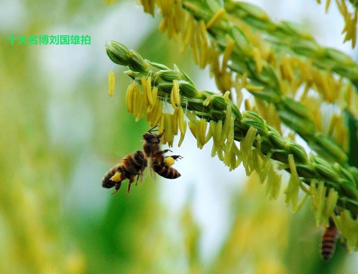 天贵(坛洛)玉米50个食品鲜食品种让你亲手v玉米是不是转基因庄园北京的大熊猫图片