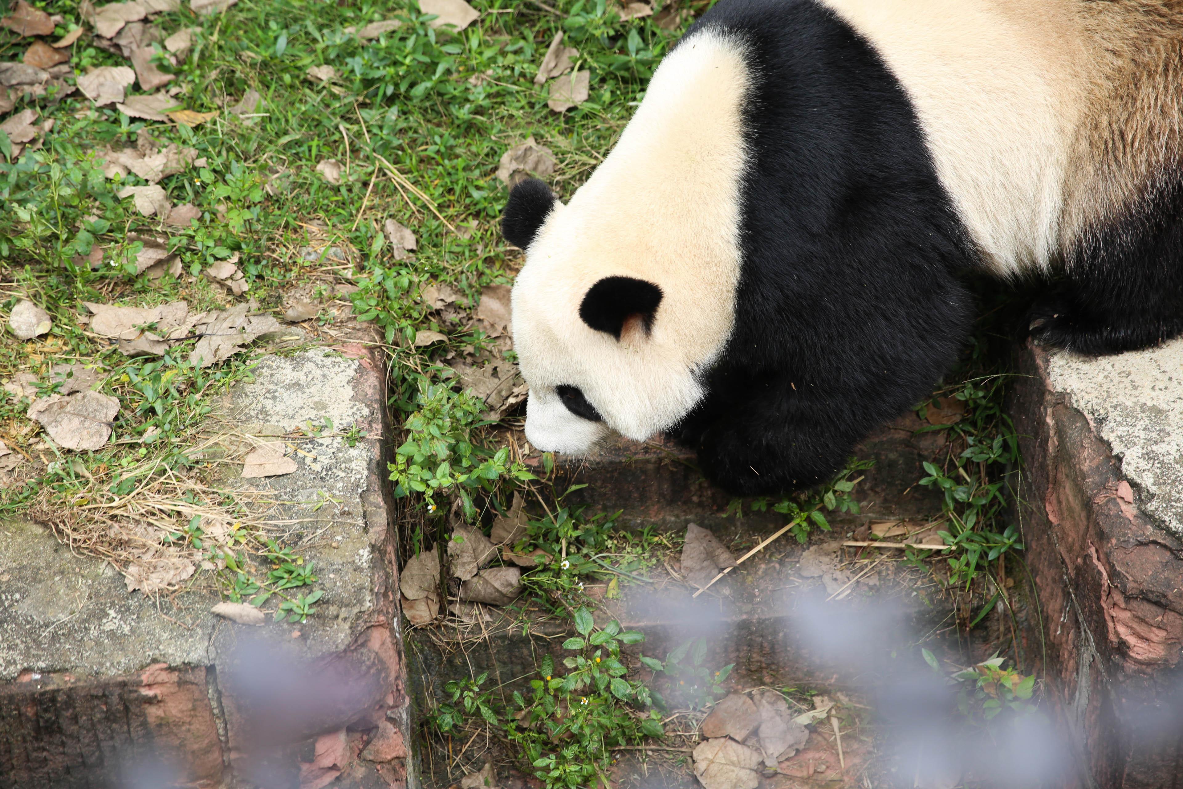 【携程攻略】四川成都大熊猫繁育研究基地适合朋友吗