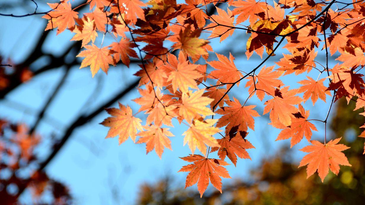 背景 壁纸 枫叶 红枫 绿色 绿叶 树 树叶 植物 桌面 1232_693
