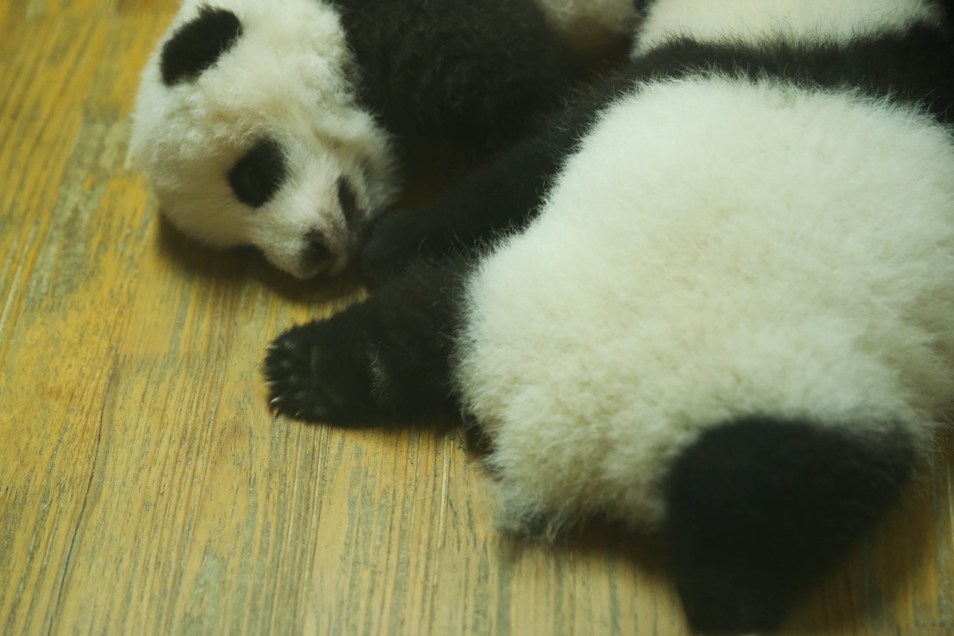 〖成都大熊猫繁育研究基地〗来成都不得不看看可爱的国宝熊猫,个个都萌呆呆的特可爱,熊猫基地位于成都市外北熊猫大道26号,里头建有各种齐全的大熊猫繁育所必须的设施,而成都的熊猫基地说大也不大,说小也不小,整个都走完,大约也要游玩两三个小时。节假日还有特别的熊猫表演,开放时间为早上 8:00 - 下午 18:00 ,一般来说看大熊猫最好是早上,下午的时候熊猫比较懒散,有些都在睡觉。一般旅行社都有熊猫团,包车来回,玩一个上午,费用100/人(包括门票),个人是觉得没什么必要,特别是学生,因为门票的学生票才29/人