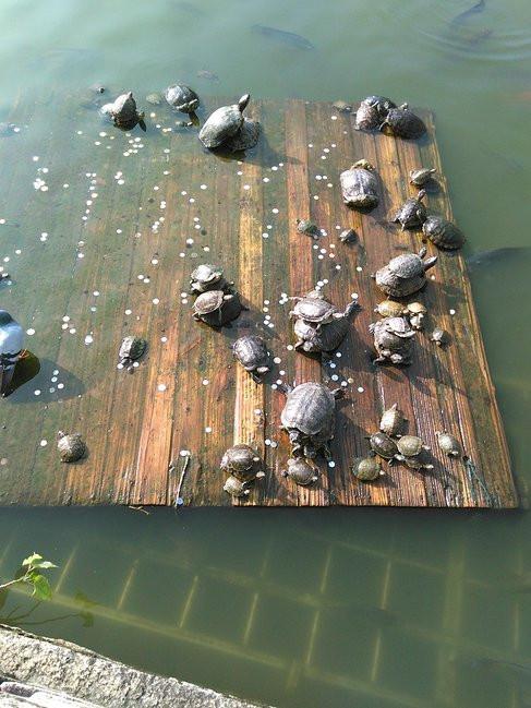 放生池里晒太阳的乌龟,游客扔钱钢�G干嘛,有钱扔几张红票呀!