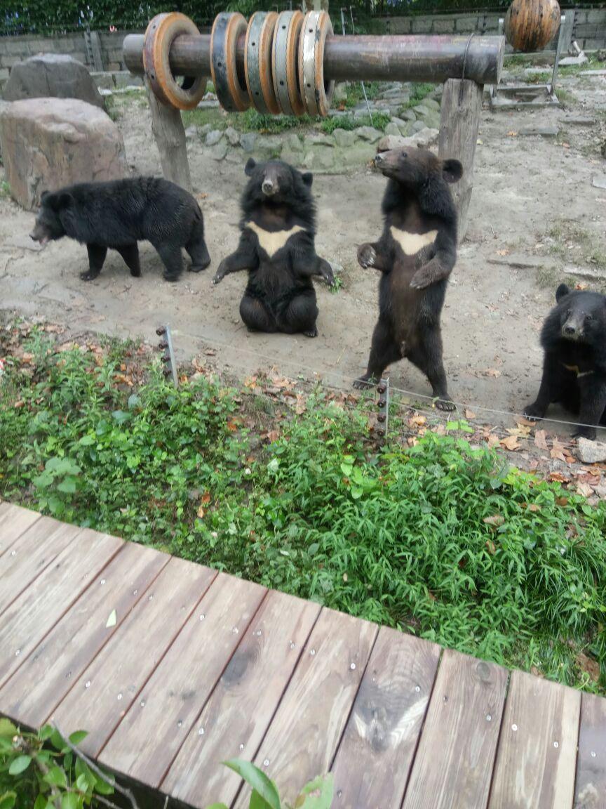 《上海野生动物园游记》携程上预订了动物园附近的酒店,上午九点多就进入园区,因为节假日的原因,门口会有许多动物在此迎宾。这个动物园李小坏个人比较喜欢的几个点:1车入区:乘坐铁笼车(票价40元/人)进入猛兽区(主要有食草动物区、东北虎区、白虎区、狮子区、熊区、狼区、马来熊区等),会发现许多动物会悠然自得的逛趟子,对丢下去的鸡胸肉兴趣一般,今天还算看到老虎、狮子趴在车外抢食;2投食互动区:可爱的环尾狐猴爱吃酸甜的葡萄干、大象、河马、斑马、长劲鹿、袋鼠投食只能喂园区的食物,投食基本20元&