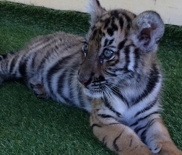 跟里面的老虎亲密接触,当然不是跟成年的老虎似的那种小幼崽.