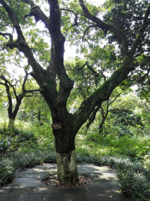 最好选择桂圆节去,上百年的桂圆树