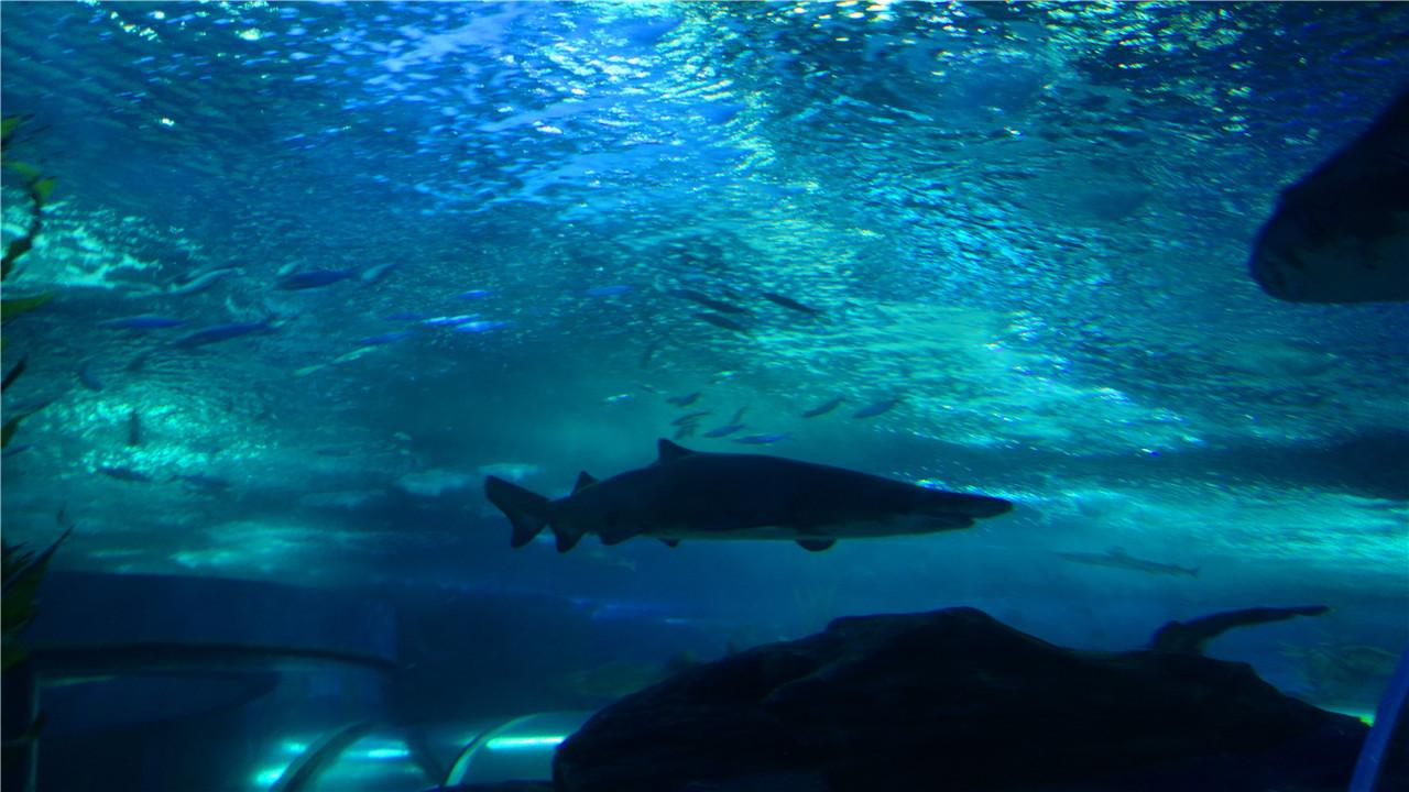 周末带孩子来参观体验新开放的海底空间实验室,来到这里一眼就看到中央的虚拟浮空台,就像飞船空间站当中的控制台。按一下上面的8个按钮,3D立体全息海洋生物影像就会轮番出现在浮空台上,它们旋转飞舞着,孩子们在任何一个角度都看到。 在桌面AR海洋体验区,用海洋生物图卡回答有趣的科普问题,扫描图卡,在显示屏上就会跳出相应的的海洋生物立体图像。