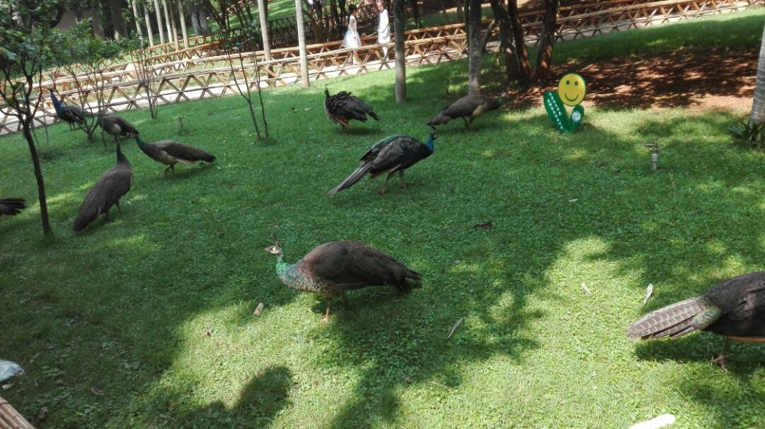 欣赏完滇池的美景后,我们来到昆明动物园。虽然只能隔着一定的距离观看大象,但仍能弥补宝贝们在西双版纳没能看见大象的遗憾。在快离开动物园时,我们发现道路旁边的鹦鹉乐园,管理员介绍到里面可以喂养鹦鹉,这可让小盆友们兴奋了,我们和两个小盆友迫不及待的进入了鹦鹉馆。这里面积不是很大,但鹦鹉种类却有不少,有精钢鹦鹉、灰鹦鹉、凤头鹦鹉、太阳锥尾鹦鹉等等,里面只有太阳锥尾鹦鹉是放养着的,据说只有它是最亲近人类,攻击性也是比较弱的。 刚进入鹦鹉馆一会,就有一只太阳锥尾鹦鹉飞到我身上,在我的肩膀上左右来回的走着,放上一两颗瓜