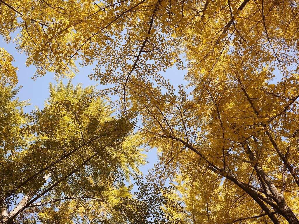 地坛公园银杏树_地坛公园内的银杏大道是北京最古老的银杏路,其中有些银杏树是在明朝