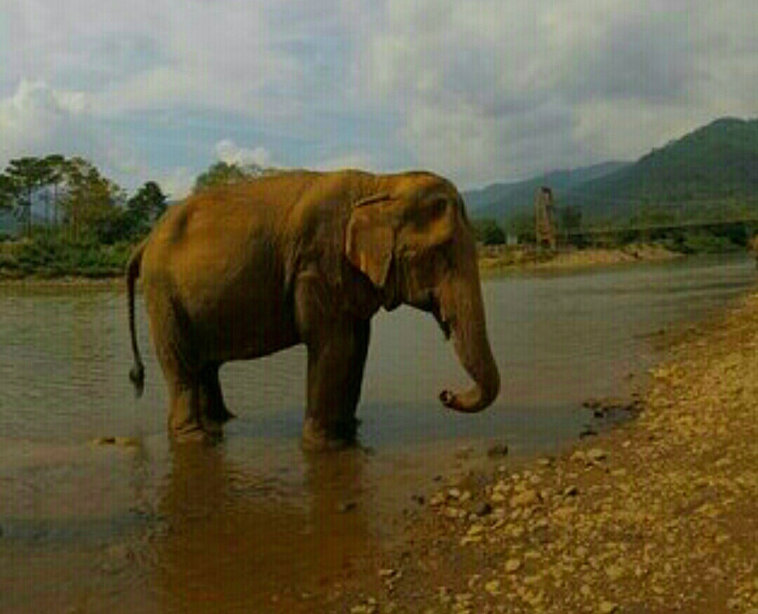 很爱这个公园,公益性质的,保护和救助大象,所以没有骑大象和大象表演项目,因为驯服和训练过程是极其残忍的,对大象身体和心灵造成难以弥补的伤害。参与的中国人不多,大多是欧美游客,国内旅行社一味追求利润,从不宣传这里,我是从别人的游记里看到的,当下决定来这里。虽然价格比其他所谓的公园贵了不少,这钱花的心甘情愿,与大象互动、喂他们吃饭、为他们洗澡一天的行程是一次爱的付出,心灵的洗涤,值得!