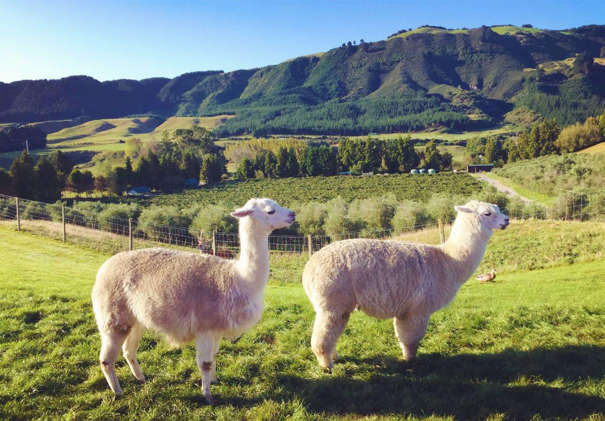 牧场饲养的动物种类主要包括绵羊,肉牛,乳牛,红鹿,梅花鹿,驼羊