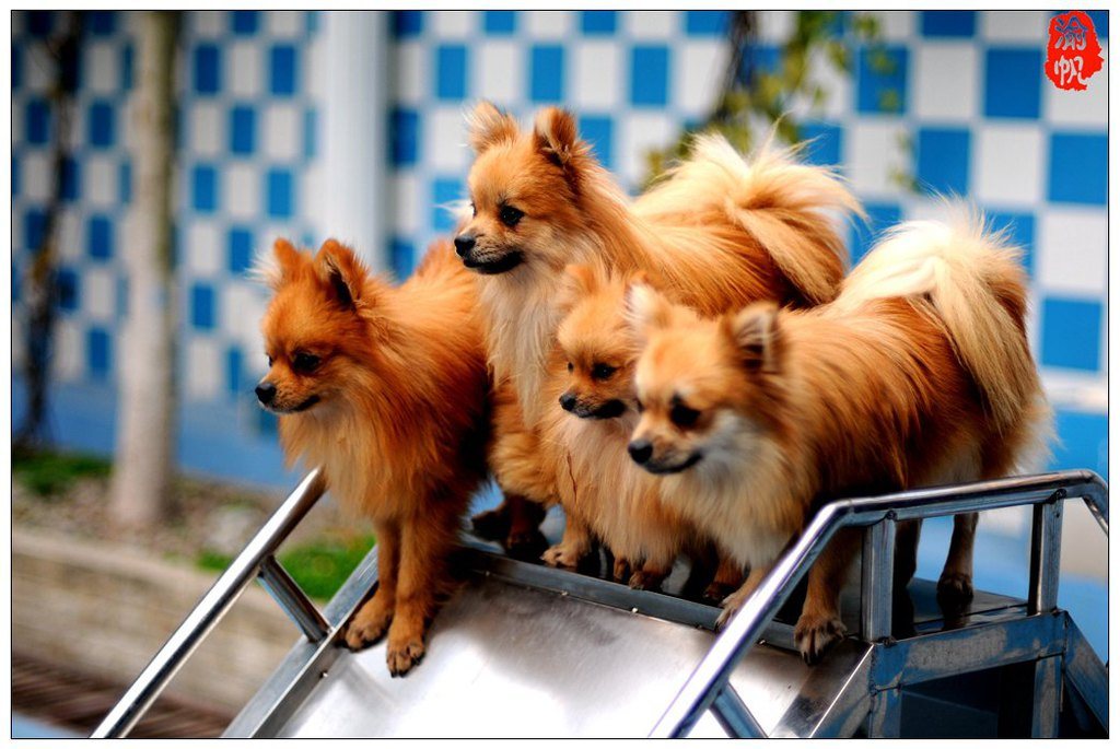 很多可爱的小狗训练有素的为观众表演