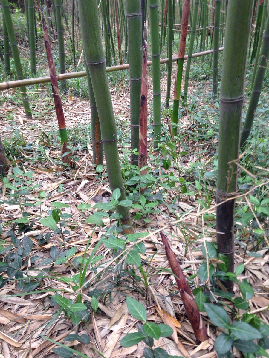 手机动态壁纸绿竹