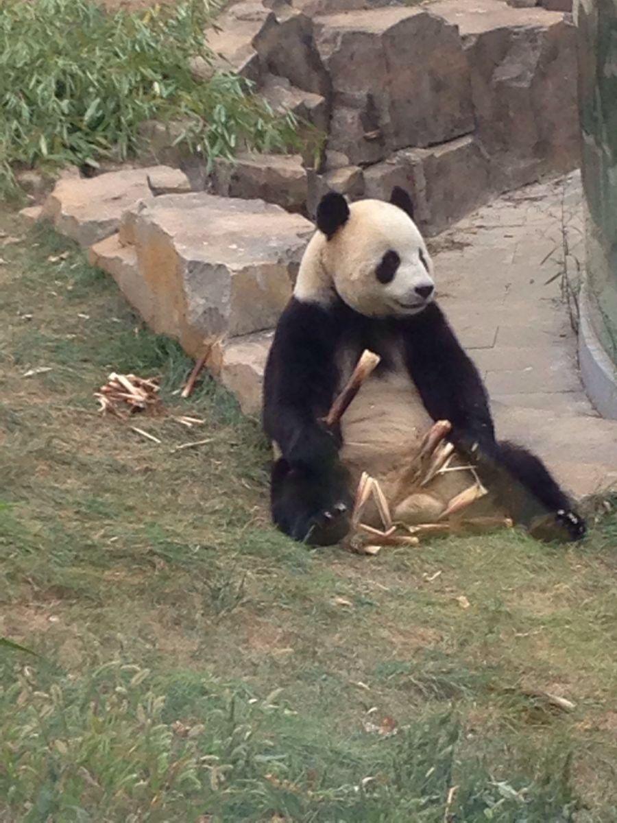壁纸 大熊猫 动物 狗 狗狗 900_1200 竖版 竖屏 手机