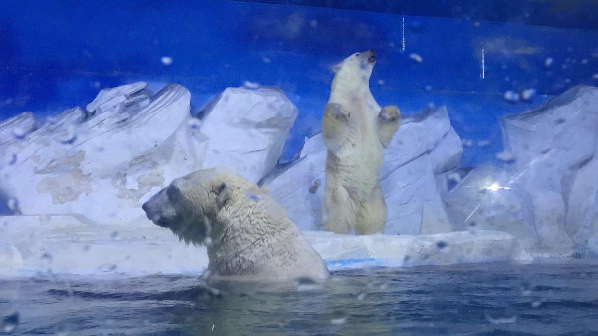 小长假带着孩子到天津海昌极地海洋世界游玩人比较多,馆区地方不大但可以看到好多极地动物,王企鹅、帽带企鹅;两只大北极熊和一只北极熊宝宝;海洋北极狼,这个很少见;还有五只大白鲸;大白鲸表演比较精彩,美人鱼表演一般,还有企鹅喂食、北极熊喂食比较有意思,还看到了北极熊宝宝自己玩轮胎!下午三四点左右人比较少可以把海豚表演、海象表演、企鹅喂食等重新看一遍,建议先按时间表把所有表演依次看完再重新游览各个鱼类等展区,下午晚一点人少可以拍照留念。