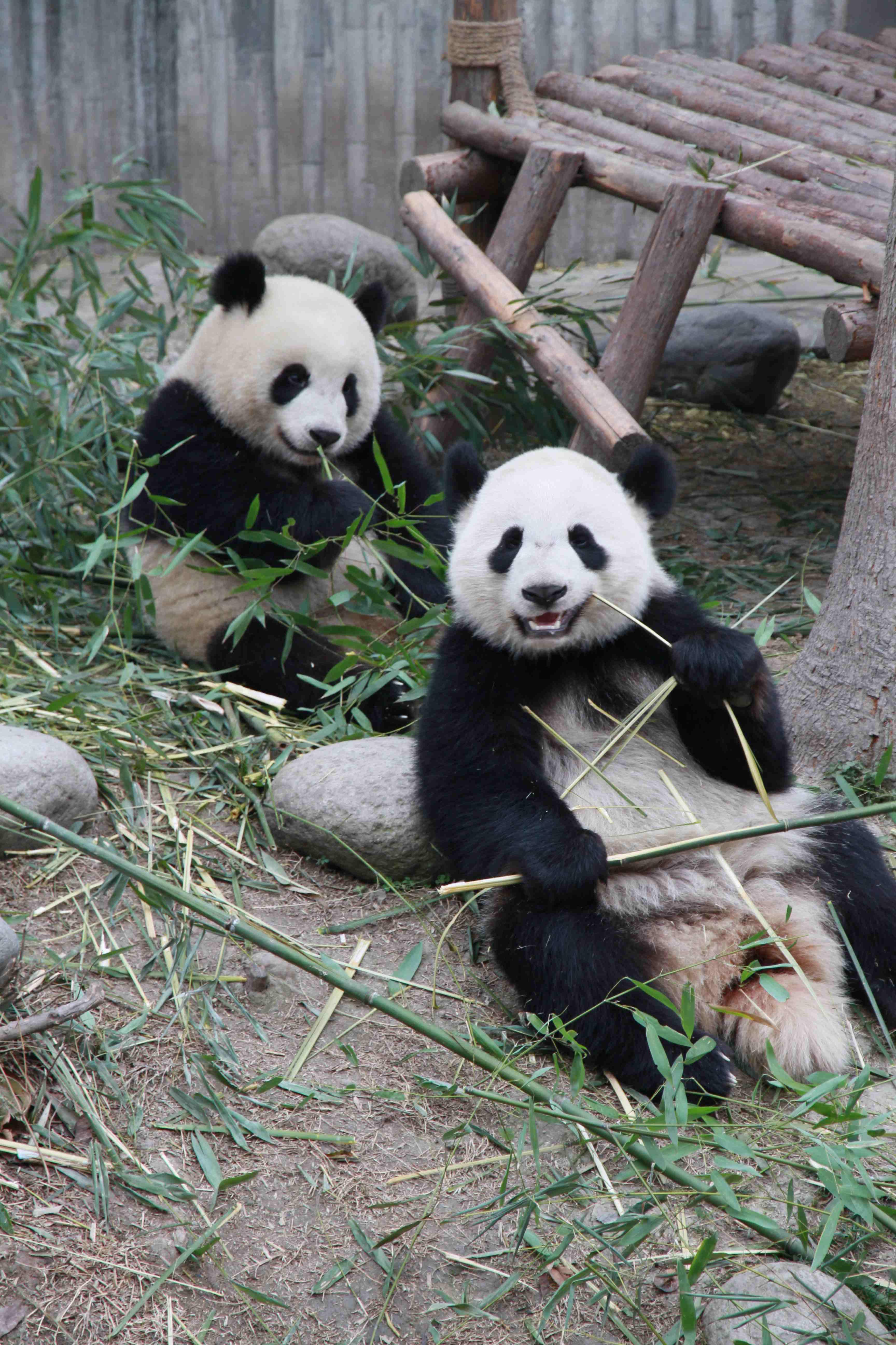 想到成都旅游,第一站肯定是看大熊猫。不愧是大熊猫的故乡,大街小巷都是熊猫的玩偶,连繁华的太古里IFS顶楼都爬着一只大熊猫。因为是自由行,反复研究了大家的点评,将本来周六去的计划改到了周一,事实证明是明智的。虽然周末不及国庆那般疯狂,但我们周一逛完出来,接车师傅说前两天周末人数至少是周一的5倍。成都的景区直通车很方便,有从不同地方出发去大熊猫基地的。但是看评论大家说要赶早,我琢磨着从酒店要很早出门,赶8点从宽窄出发的一趟,还不如从酒店直接约车出发,节省时间。如果您是携程的老用户,会有