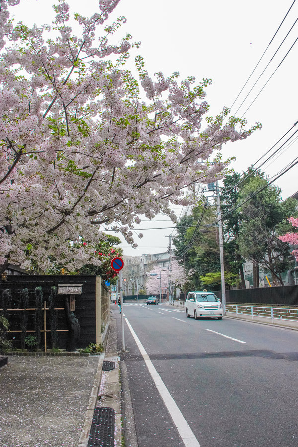 樱花花瓣飘落人间