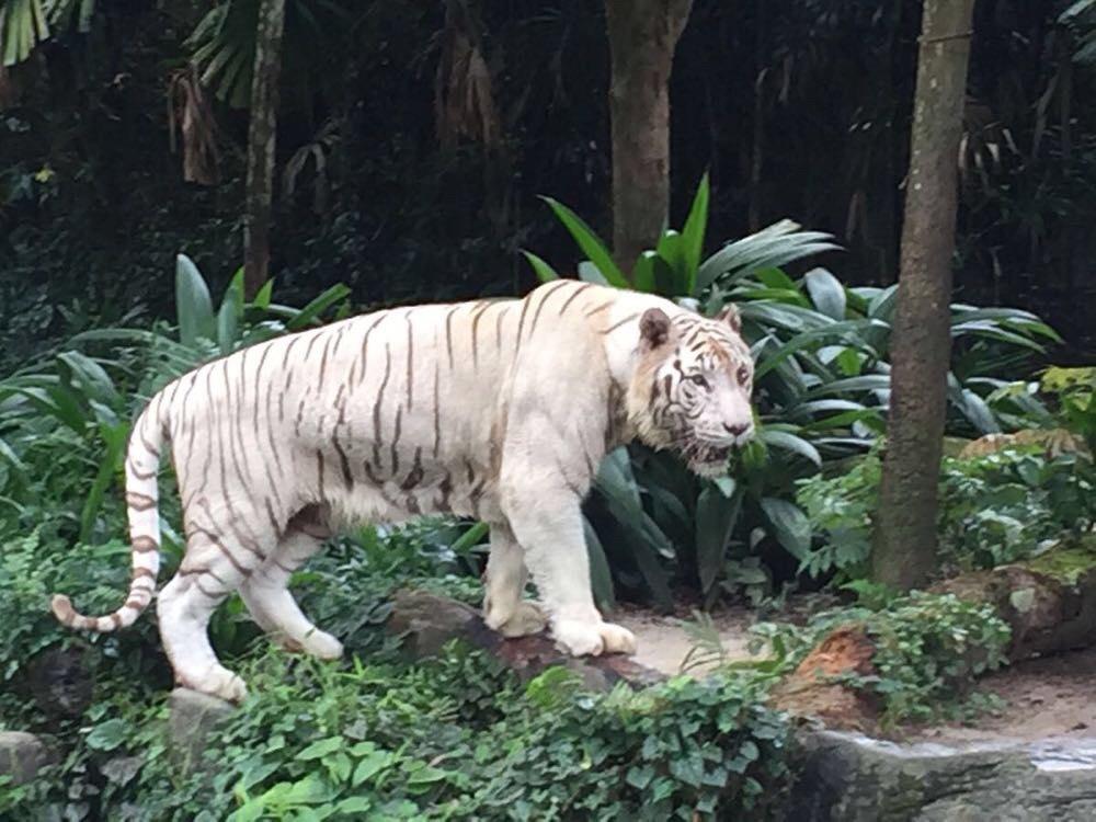 吃过早餐直接下楼坐地铁到宏茂桥站,再到对面的公交车总站坐138路公交车去动物园,从头坐到尾,终点站下就是动物园,日间和夜间是挨着的。 新加坡的动物园不大,和广州的长隆一个风格,但新加坡的动物园给我的印象非常深刻的是动物的生态饲养:企鹅馆挨着海豹池,池子上面还养着鹈鹕,特别和谐。你在路间走,长臂猿就在你的头顶穿越,很自然! 中午在动物园里的餐厅吃的,价钱是平价,不像我们国内的公园内的吃喝都是涨了好几倍的,中午吃饭的人很多,要排队,点了她们的咖椰味的海鲜米粉,有椰奶味,吃不惯,海南鸡饭依然好吃!