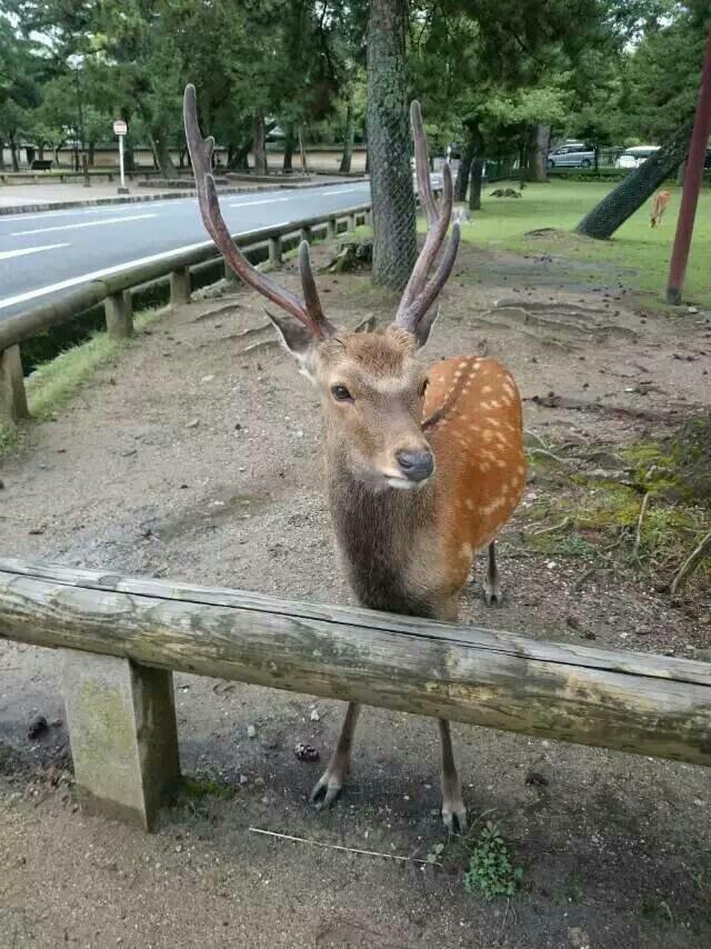 跟小伙伴从奈良近铁车站一路拖着行李箱,穿过公园,千辛万苦于深夜12点到达预定的鹿园酒店,一路能听见小路嘶鸣,公园静的不像话,真是难忘的经历。后来第二天才仔细观察奈良公园,绿地成片,小鹿成片,到处都是自然、动物、人类和谐共处的画面,让人印象深刻。