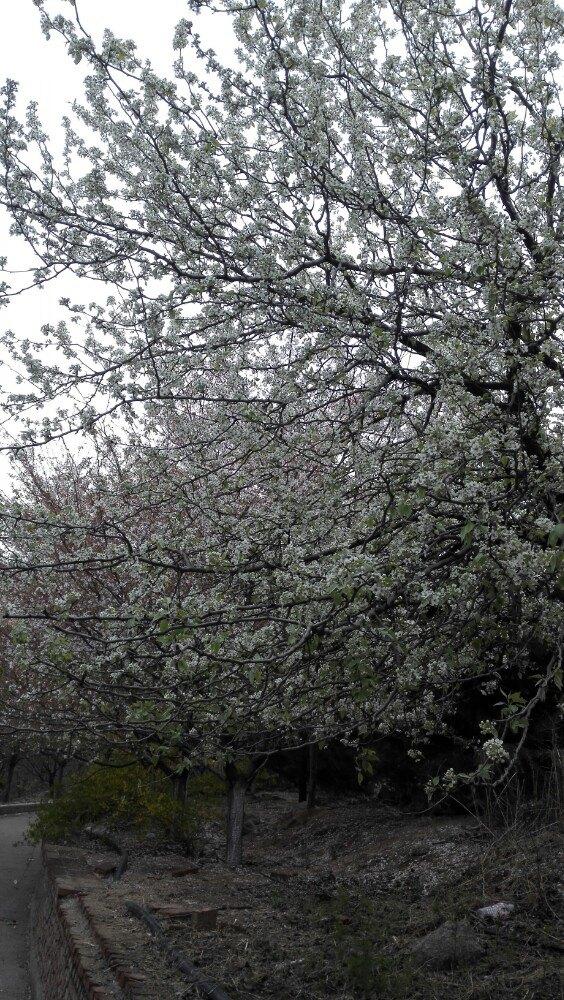 【携程攻略】山东樱花山风景区景点