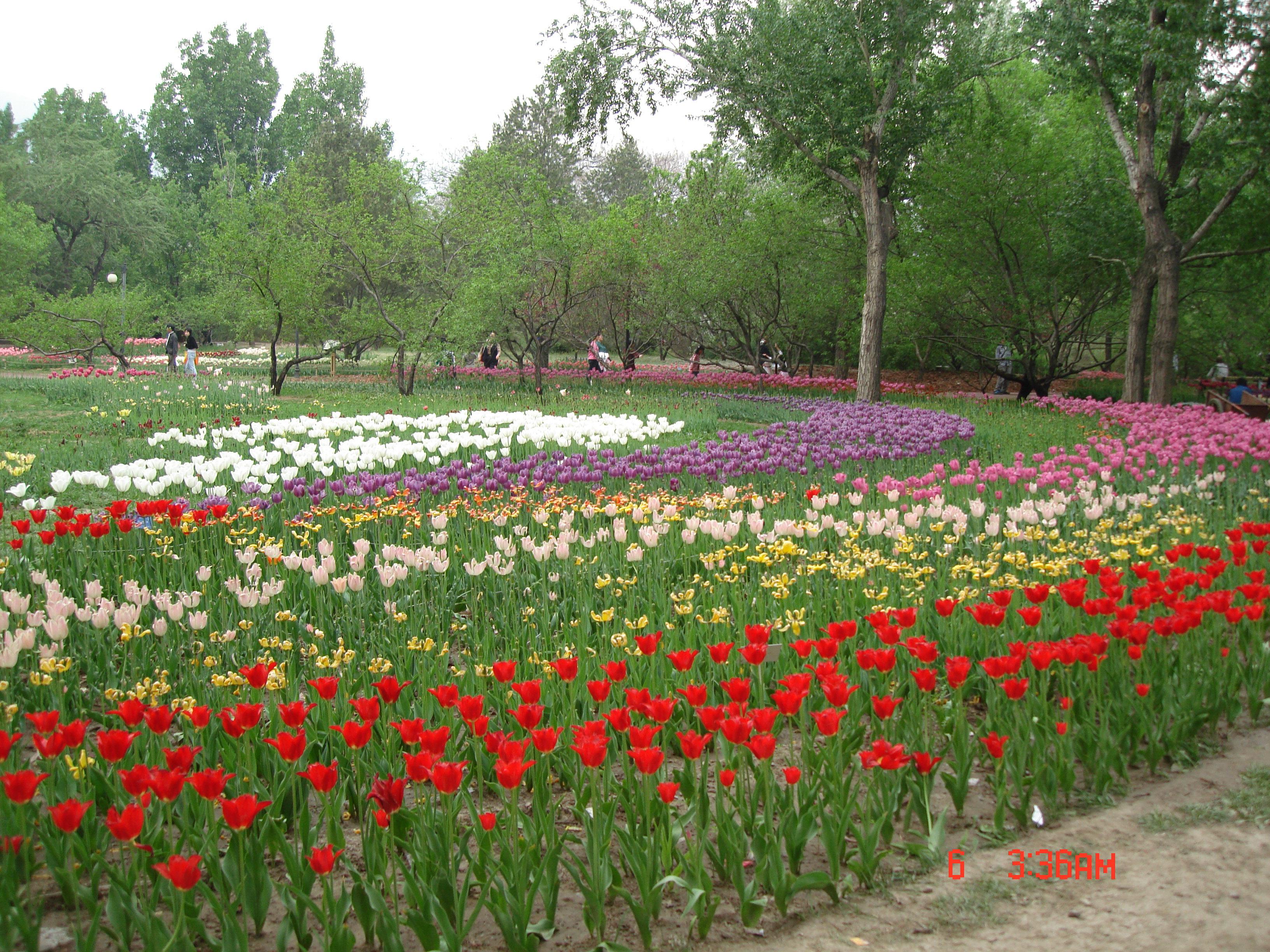 说起北京赏花的地方可是不老少,国际鲜花港、花卉大世界以及各大公园春、夏、秋三季都能欣赏到各种美丽的鲜花。不过,我最喜欢的还是植物园了。这里不但一年四季鲜花不断,环境优雅,离城区也不算远,而且票价也比较便宜,只有10元钱,的确是赏花的好去处。植物园的花展很多,春有桃花、夏有月季和荷花、秋有菊花,冬天有梅花,不过这里在京城最著名的还是桃花了,不但品种多,而且种植的面积也非常大,这里的桃花展和玉渊潭的樱花以及元大都的海棠花并称为北京的三大花展。我是5月初的时候去欣赏的桃花,其实观赏桃花三月就可以开始