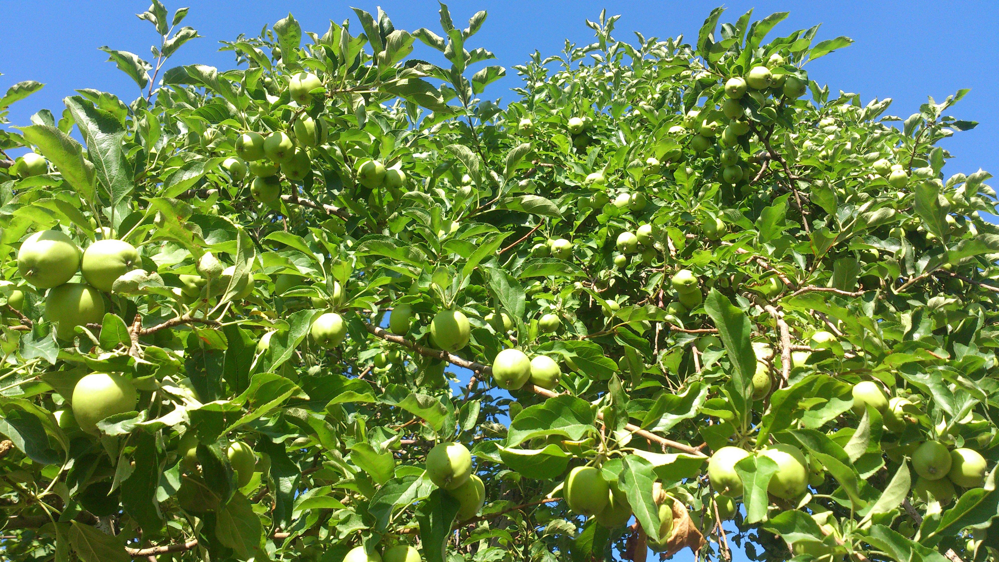 路的两边都是青苹果树