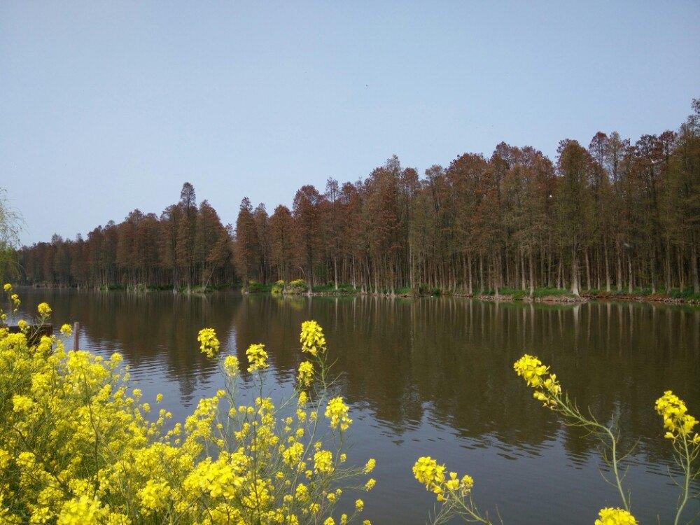 兴化油菜花 李中水上森林公园图片