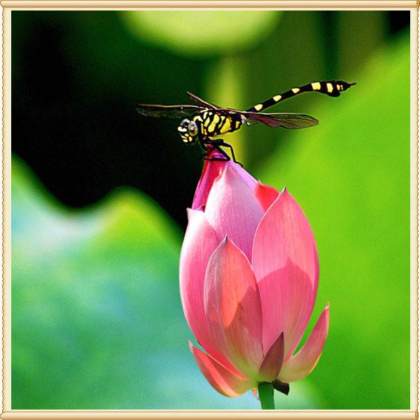 而那调皮的蜻蜓,扇动着翅膀,从那朵花飞到另一朵花,与荷花快乐地嬉戏图片