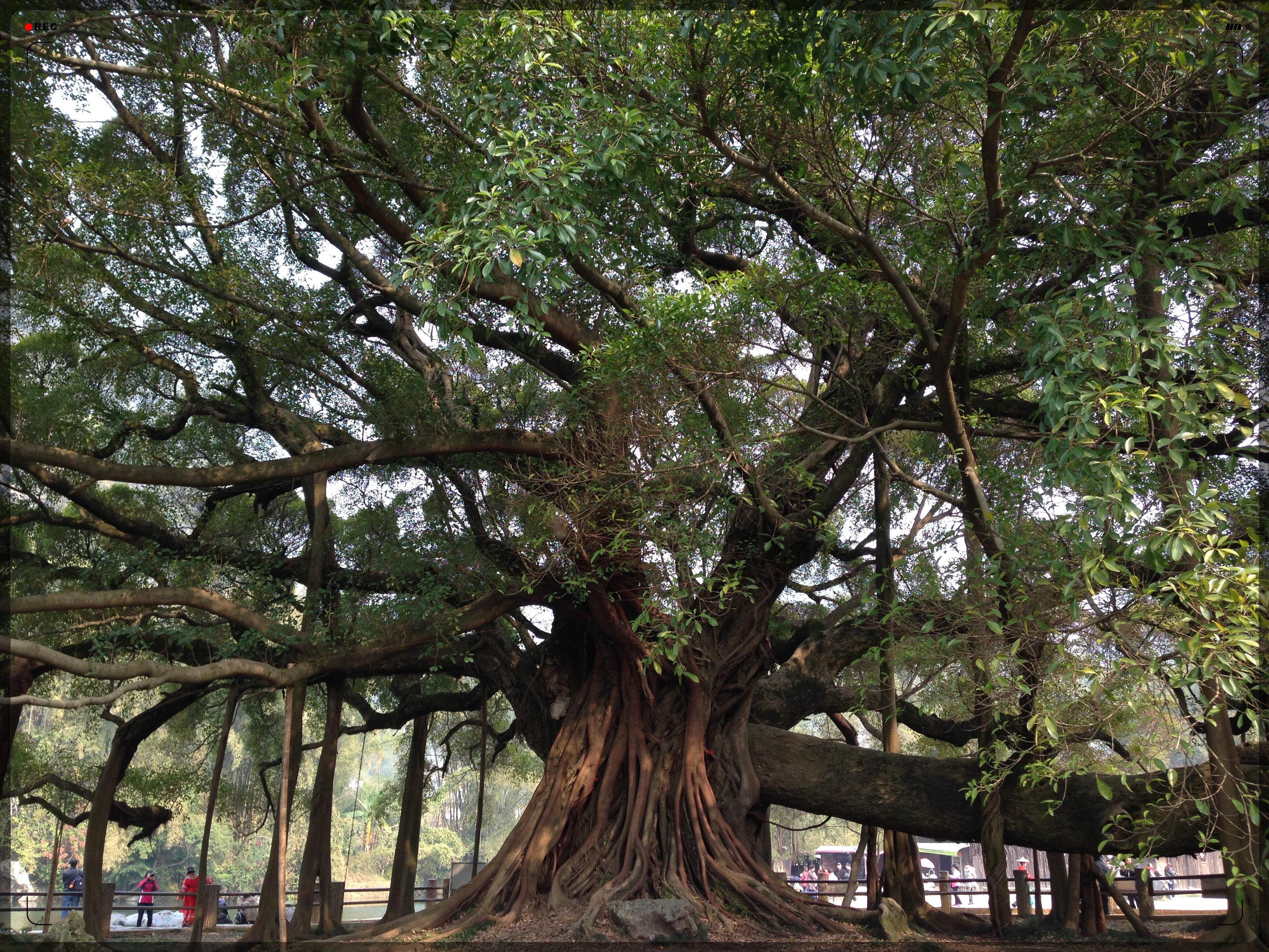 古榕树图片_古榕树下的青葱_古榕树
