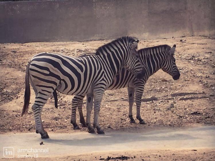 斑马 长颈鹿  其实每一种都可以近距离接触