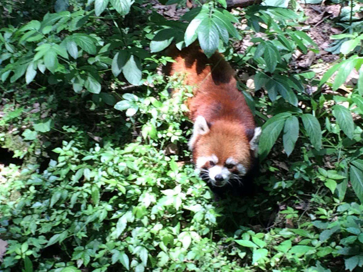 憨厚可爱的大熊猫