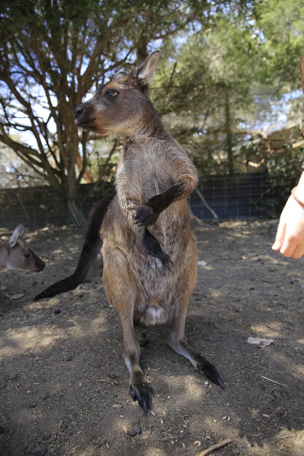 在袋鼠岛野生动物园里