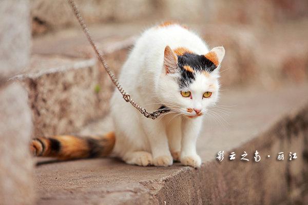 这只大猫咪初看挺可怜的,拴着小链子不能随意活动感觉很可爱,跟它合张